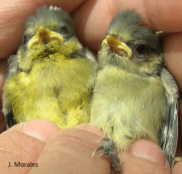 blue-tit-chicks