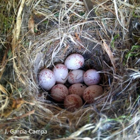 Cyanistes caeruleus eggs
